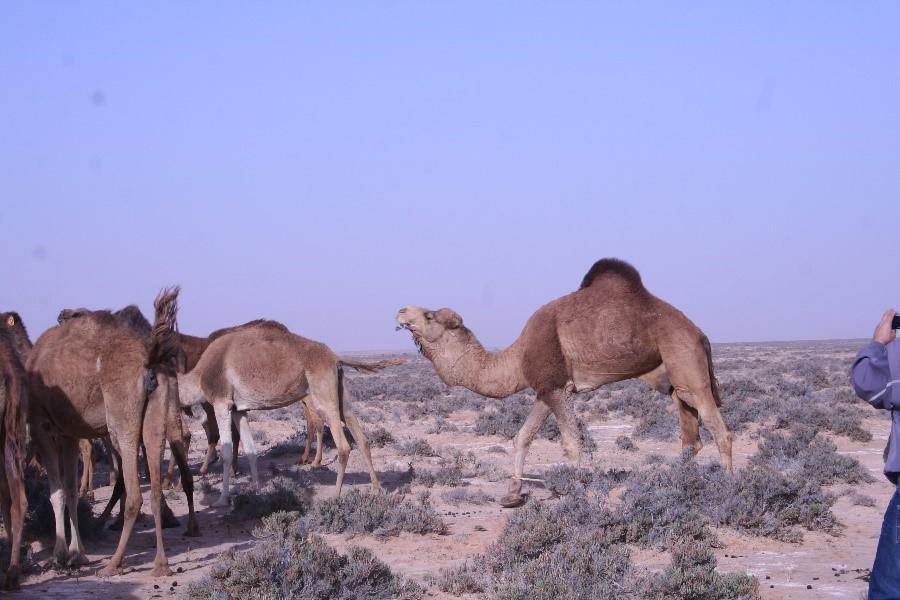 Herisson du desert