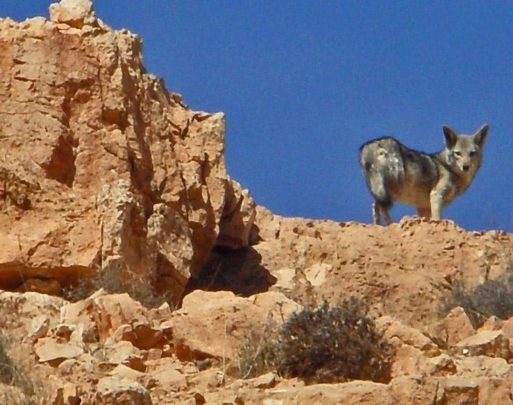 Loup doré africain