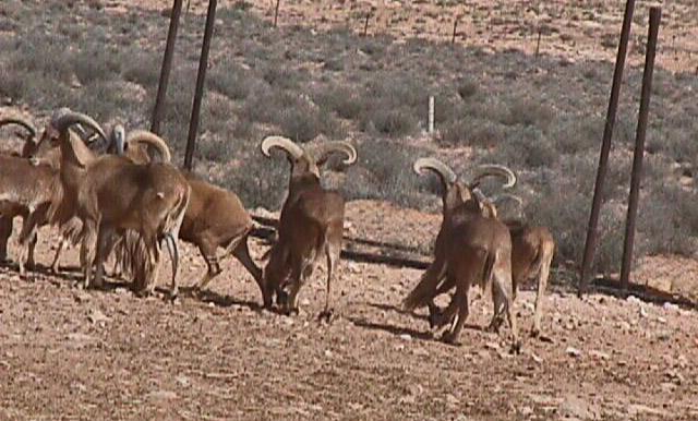 Mouflon à manchettes