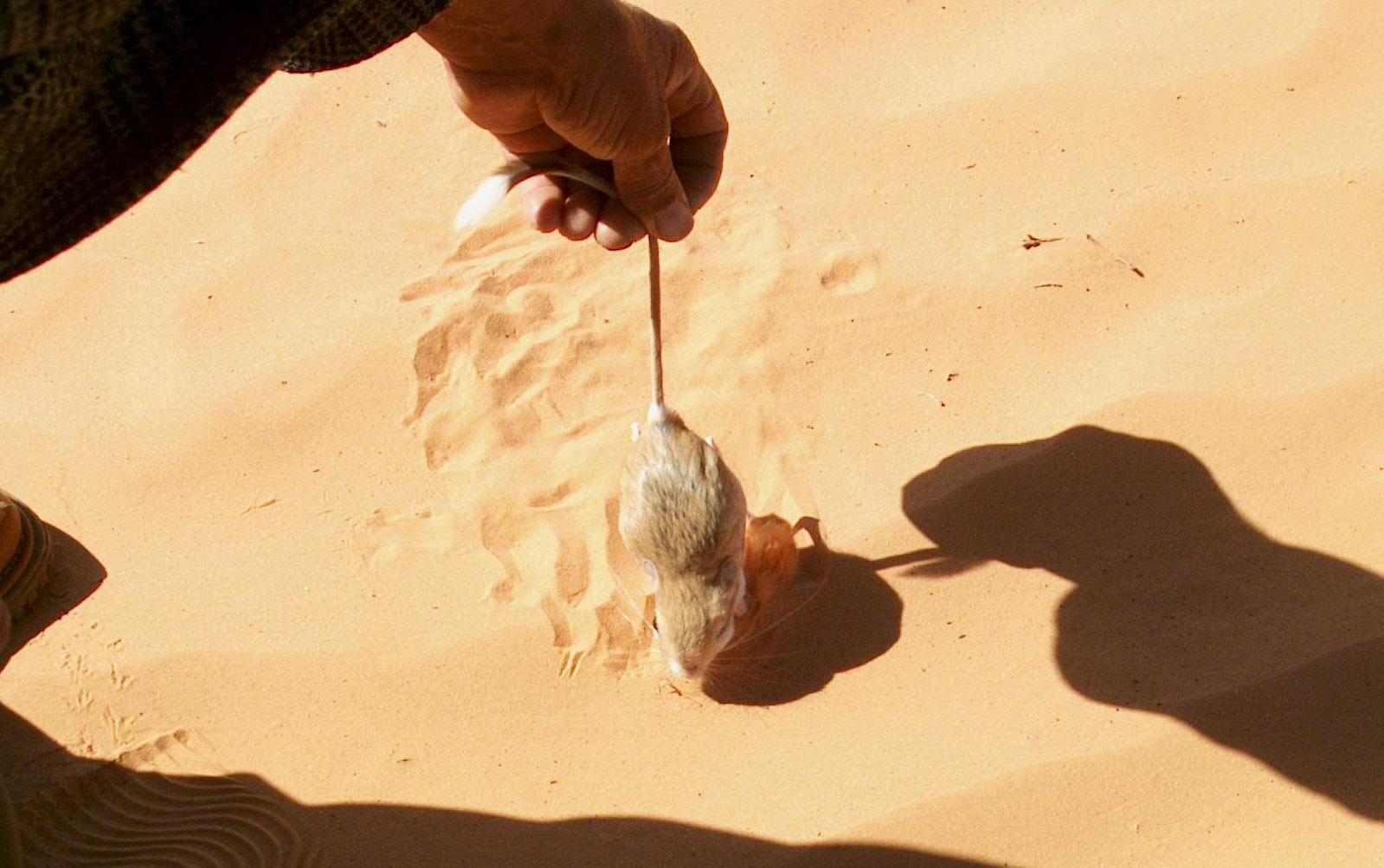 Petite gerboise