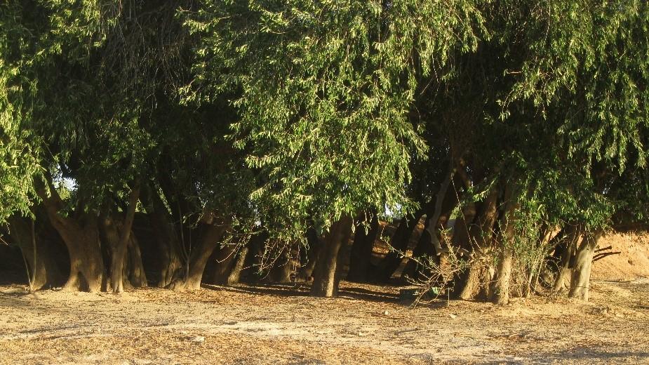 Un champ d'oliviers